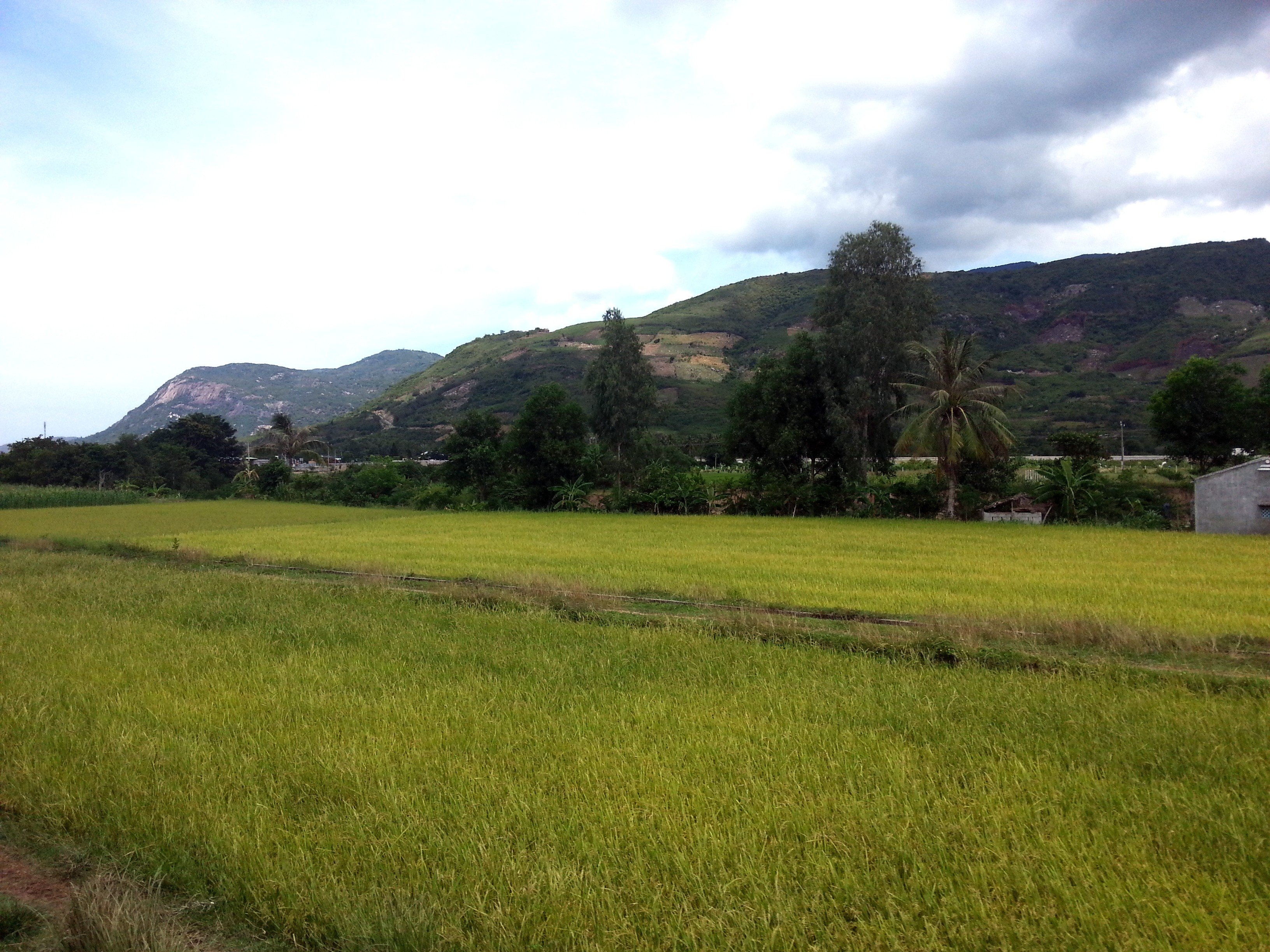 Rice fields on the way to Nha Trang